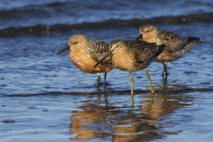 Long-billed Dowitcher with Red Knots