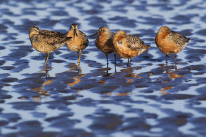 Long-billed Dowitcher & Red Knots Resting; Migration Stop