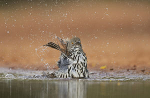 Long-billed Thrasher (Toxostoma longirostre), adult bathing, Rio Grande Valley, South