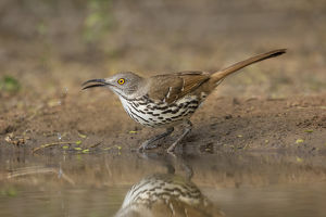 Long-billed Thrasher (Toxostoma longirostris) drinking and bathing