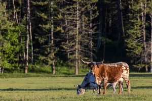 Longhorn cattle in lush pasture near Whitefish, Montana, uSA