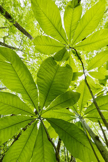 Low angle upward view beneath Umbrella Magnolia trees in spring, Great Smoky Mountains