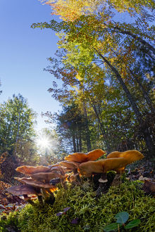 Low wide angle view of mushrooms on forest floor, Upper Peninsula of Michigan, Hiawatha