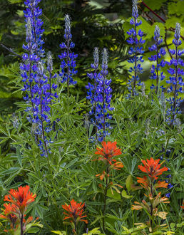 Lupine and Indian Paintbrush wildflowers carpet the forest floor in the Stillwater