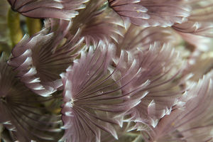 Macro photograph of Caribbean Feather Duster Tube Worms on a coral reef near Staniel Cay