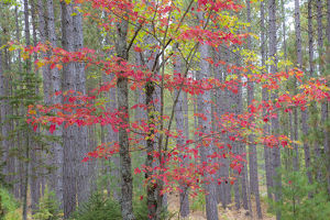 Maple in fall, Hiawatha National Forest, near Munising, MI