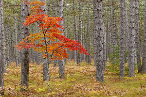 Maple Tree with autumn colors in pine forest, Upper Peninsula of Michigan