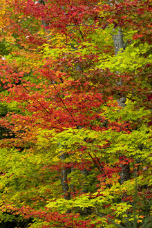 Maple trees in fall color, Hiawatha National Forest, Upper Peninsula of Michigan