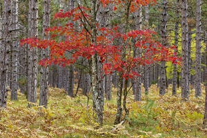 Maple trees in fall colors, Hiawatha National Forest, Upper Peninsula of Michigan