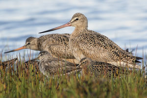 Marbled Godwit & Long-billed Dowitchers