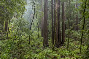Mature redwood forest in Muir Woods National Monument in Mill Valley, California, USA