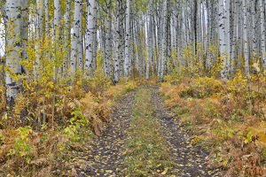 McClure Pass, Colorado with trail in grove of aspen trees