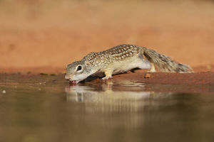 Mexican Ground Squirrel (Spermophilus mexicanus), adult drinking at pond, South Texas
