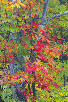 Michigan, Houghton County, tree with fall color