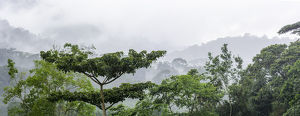 Mist and rain in the Bwindi Impenetrable Forest. Uganda