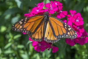 Monarch butterfly, pink Dianthus, garden, USA