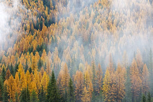 Montana, Lolo National Forest, golden larch trees in fog