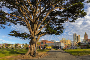 Monterey cypress tree in park in Fisherman's Wharf in San Francisco, California, USA
