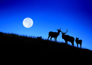 Full Moon, Super Moon, Rocky mountain bull elk with harem, Cervus elaphus, Yellowstone