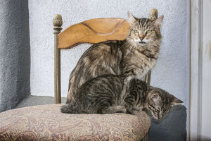 Mother Cat and Kitten on chair