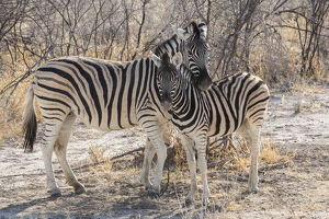 Mother zebra (Equus quagga burchellii ) hangs her head protectively over her offspring