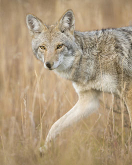 Mountain Coyote, Canis latrans lestes, Grand Teton NP, Wyoming, wild