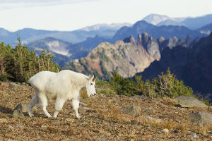 Mountain Goat; Cascade Mountains