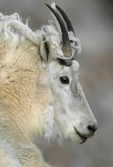 Mountain goat (Oreamnos americanus), profile of adult with shedding fleece, Mount