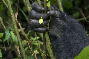 Mountain gorilla (Gorilla beringei beringei). detail of Hands. Bwindi Impenetrable Forest