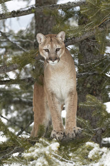 Mountain Lion in mid air jumping, (Captive) Montana Puma concolor