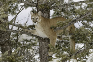 Mountain Lion in tree, (Captive) Montana Puma concolor