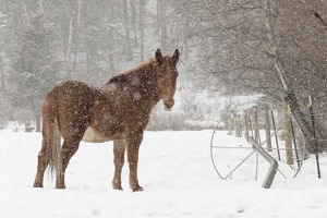 Mule and falling snow, Kalispell, Montana