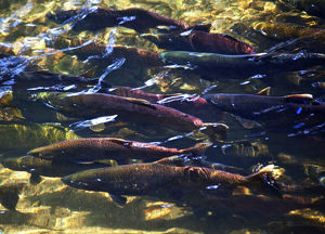 Multi-Colored, Coho, Sockeye, and Chinook Salmon, Issaquah Creek, Washington Salmon