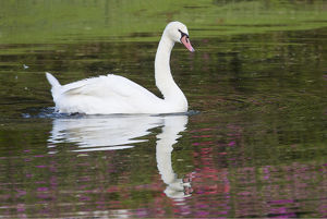 Mute Swan in small pond reflection springtime Middleton Place Plantation, South Carolina