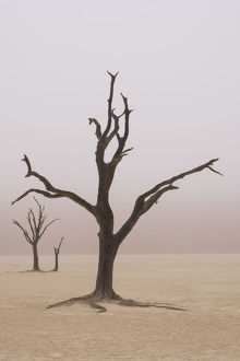 Namibia. Fog shrouds the dead acacia trees in Deadvlei, within Namib Naukluft National