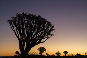 Namibia. A Quiver tree, actually a giant aloe, aloe dichotoma, stands silhouetted
