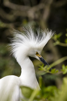 Nesting snowy egrets on Alcatraz Island, San Francisco, California, USA