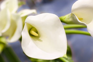New York City, New York, USA. Close up of a white Lily