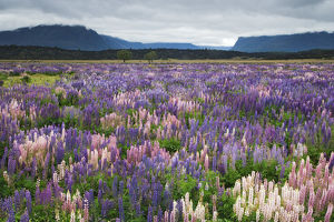 New Zealand, South Island. Blooming lupine near the town of TeAnua