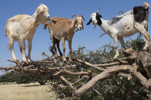 North Africa, Morocco, road to Essaouira, goats climbing in Argan trees