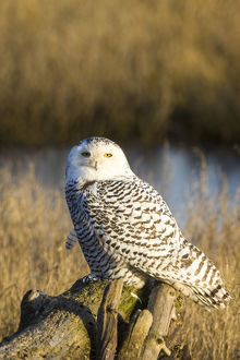 North America; Canada; British Columbia; Snowy Owl Waiting to Hunt