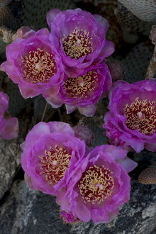 North America, USA, California. Blooming beavertail pricklypear (Opuntia basilaris)