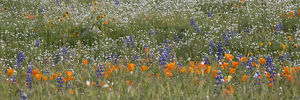 North America, USA, California. California Poppy (Eschscholzia californica) and lupine