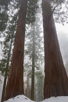 North America, USA, California. Foggy morning and spring snow under giant sequoia