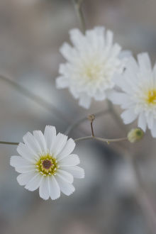 North America, USA, California. Gravel-Ghost (Atrichoseris platyphylla) detail in