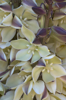 North America, USA, California. Detail of mojave yucca (Yucca schidigera) blossoms