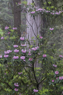 North America, USA, California. Rhododendron (Rhododendron macrophyllum) and Redwoods