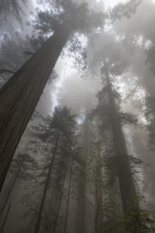 North America, USA, California. Sunlight through the early morning mist in the redwood
