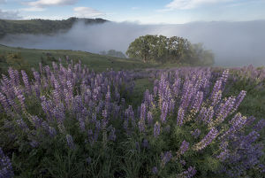 North America, USA, California. View from Bald Hills Road: oak trees, lupine, green hills