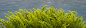 North America, USA, Washington. Detail of Sword Fern (Polystichum munitum), Hoh Rain